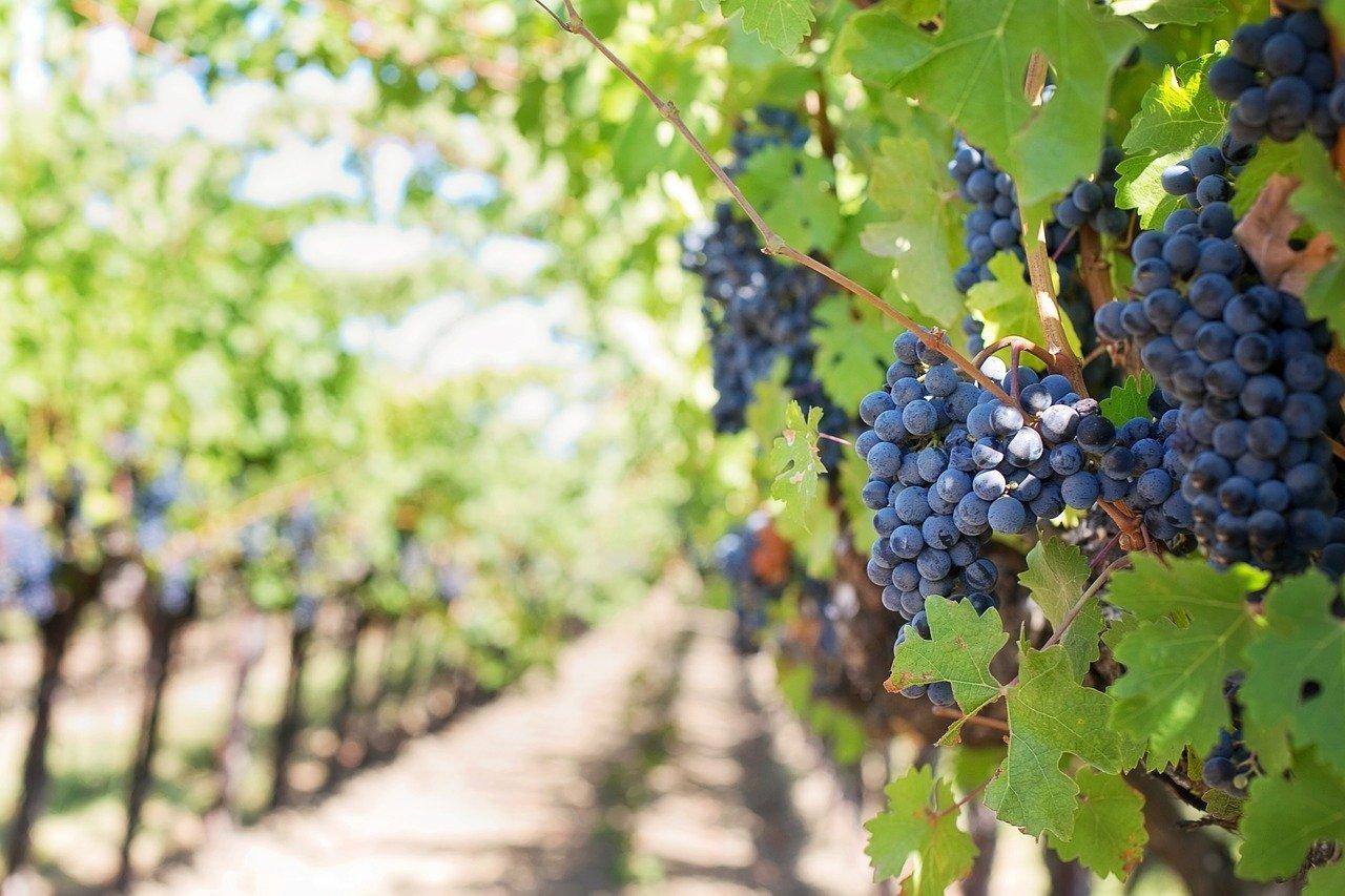 Comment et quand planter une vigne ?